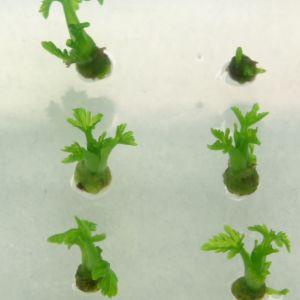 Växter i laboratorium