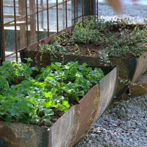 Hjortron och tranbär planterade i gamla tunnor.