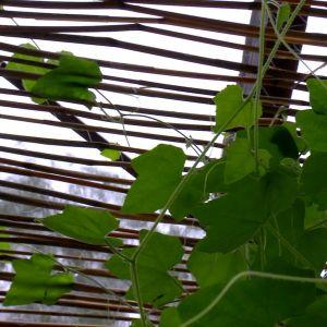 en planta och en gardin av vass