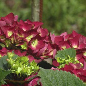 Röd hortensia.