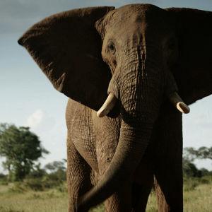 Uhanalaisten eläinten salametsästys uhkaa ajaa Afrikan norsut ja sarvikuonot sukupuuttoon 15 vuodessa.