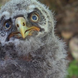 lapinpöllön poikanen kaksiviikkoa vanhana