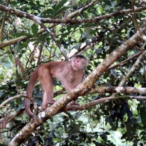 Apina kiipeää sademetsän puussa.
