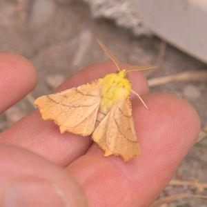 En klargul fjäril med beige vingar sitter i en människas hand.