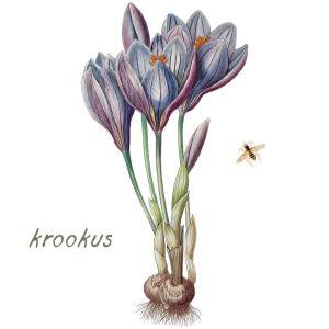 Krookus