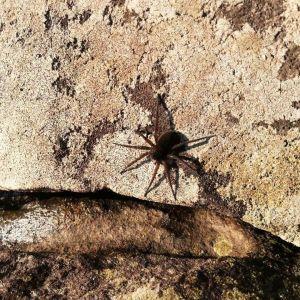 En mörkbrun spindel vid strandkanten.