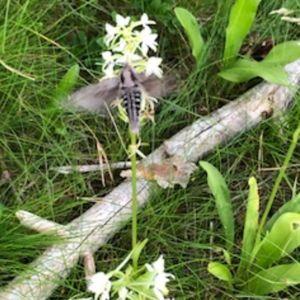 En gråfärgad svärmare vid vit blomma.