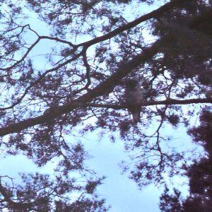 En uggla sittandes på en gren i skymningen.