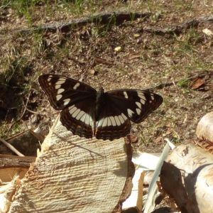 En fjäril sittande på vedträn.