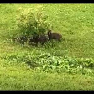 Djur som liknar mårdhund bredvid en buske.