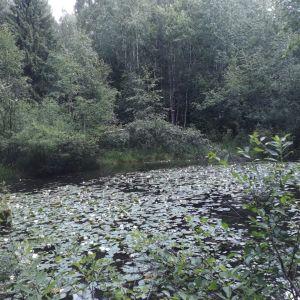 Näckrosor i en damm.