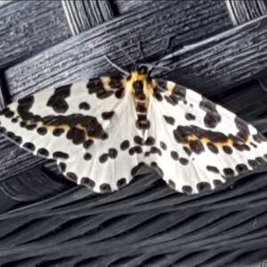 Fjäril med ljusa vingar med svarta och gula fläckar.