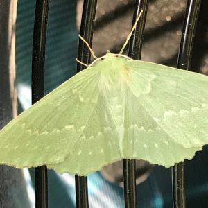 Ljusgrön fjäril.
