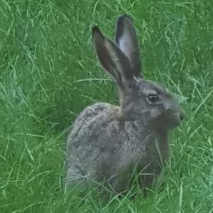 Hare bland gräs