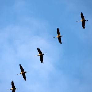 kurkiaura lentää taivaalla