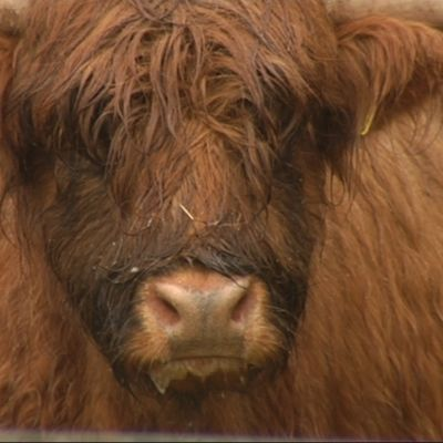 En ko av rasen Highland cattle.