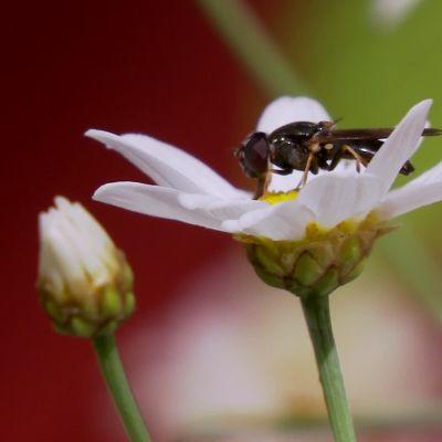 Fluga söker nektar på blomma.