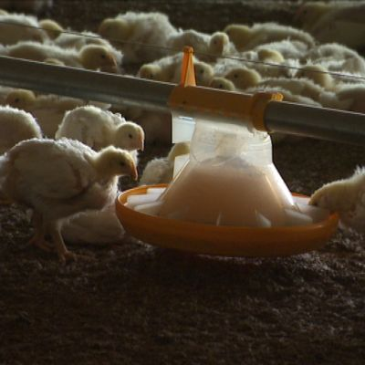Vi kan få ESBL-resistenta bakterier från kyckling.