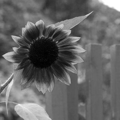 Svartvit bild på solros