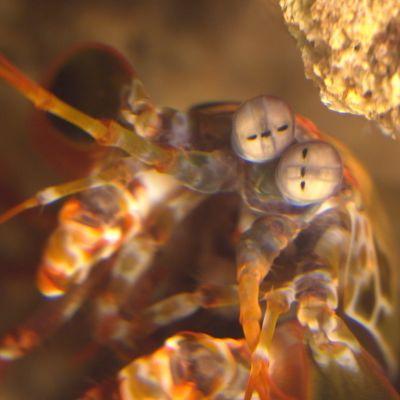 sirkkaäyriäinen, odontodactylus scyllarus