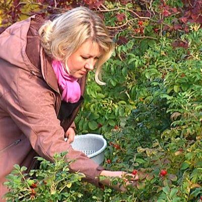 Bromarvbon Sara Randström plockar nypon för sina produkter.