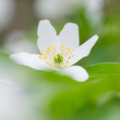 Keväinen valkovuokko.