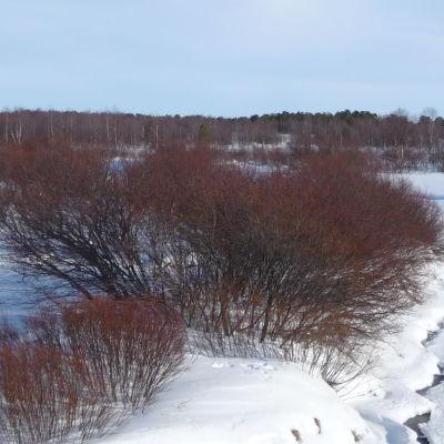 Joen rannalla tiheää pajukkoa, maaliskuun luminen maisema.