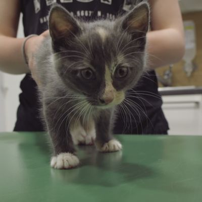 Harmaa kissanpentu eläinlääkärin pöydällä