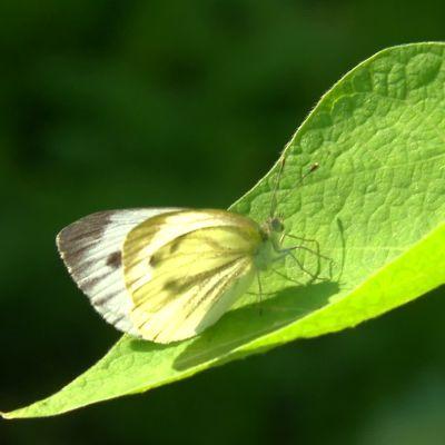 En fjäril på ett blad
