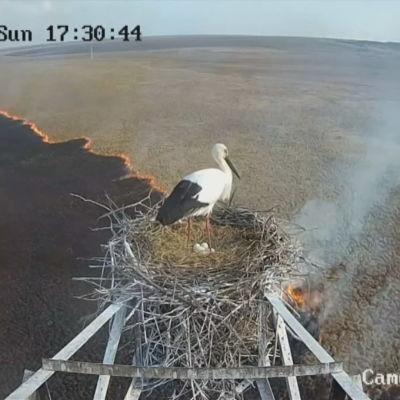 En stork står i sitt bo och tittar ut över en härjande skogsbrand.