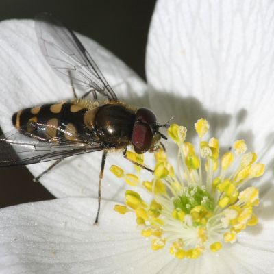 Kukkakärpänen pölyttää kukkaa