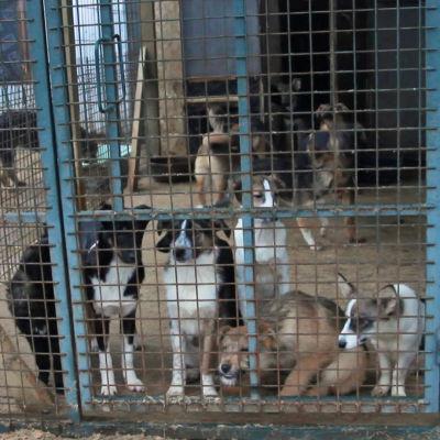 Gatuhundar i Ryssland.