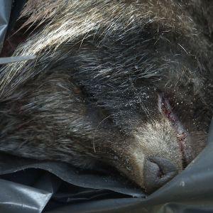 Död mårdhund i en svart plastsäck.