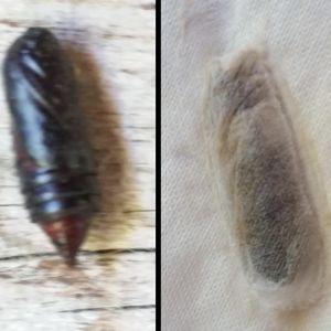 Två bilder på puppa eller skal av insekt.