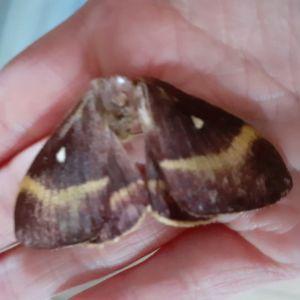 En svärmare med bruna och gula vingar i en hadflata.