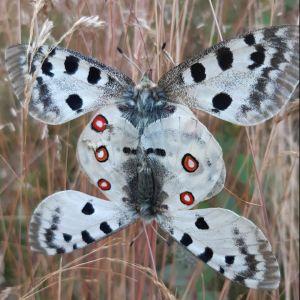 Två apollofjärilar som satt sig ända mot ända..
