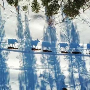 Älgar fotade uppifrån i ett vinterlandskap.