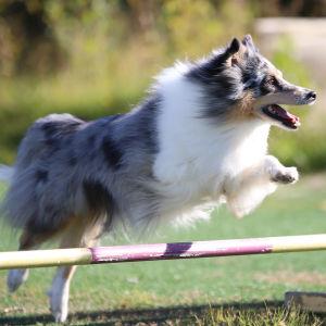Rhianna -koira agility treeneissä.