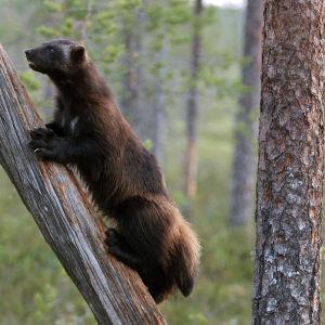 Ahma kiipeää puunrungolla.