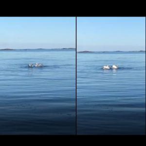 Fyra bilder på svanar som simmar runt i en form av dans.