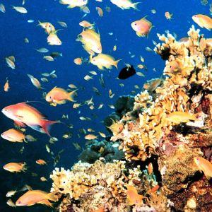 Kultakalaparvi Punaisessameressä