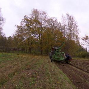 maskinell potatis upptagning