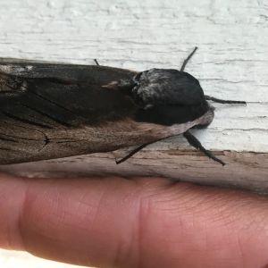 En insekt i svart och gråbrunt på en fönsterkarm. Undertill ett finger som storleksjämförelse.