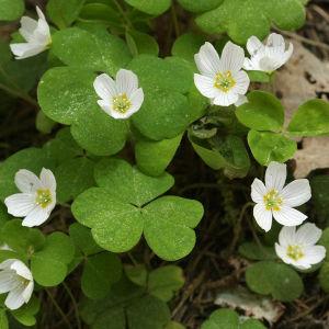 Ketunleipä eli käenkaali kukkii touko-kesäkuussa.