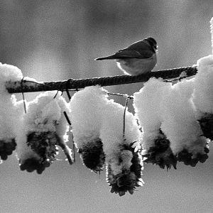 Pikkulintu lumisella oksalla