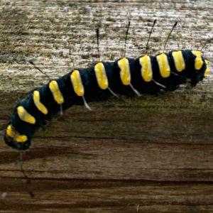 En gul och svartrandig larv.