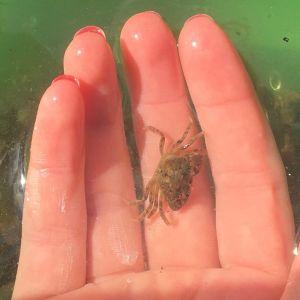 En liten krabba på en handflata i ett grönt fat med vatten.