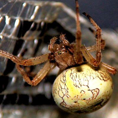 Närbild på en brun spindel med stor rund ljusgul bakkropp.