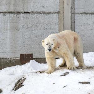 Ranuan eläinpuiston uusi jääkarhu Nord