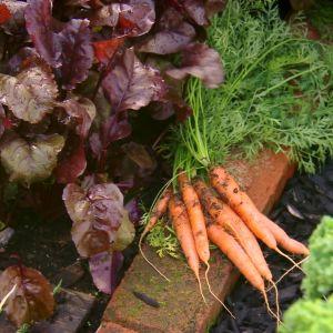 Punajuurilehtejä ja porkkanoita